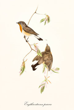 Two little cute robin on a single isolated thin branch on white background. Old faunal illustration of Red-breasted Flycatcher (Ficedula parva). By John Gould publ. In London 1862 - 1873