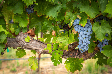 Lush Wine Grapes Clusters Hanging On The Vine Fototapete