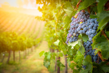 Poster Wijngaard Lush Wine Grapes Clusters Hanging On The Vine