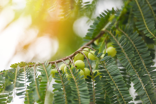 Indian Gooseberries or Amla fruit on tree with green leaf - Phyllanthus emblica traditional Indian gooseberry tree for Ayurvedic herbal medicines and snack