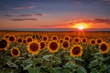 Sunset in sunflower fields in Colorado near Denver International Airport