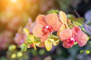 Spoed Foto op Canvas Orchidee Orchid flower in orchid garden at winter or spring day for postcard beauty and agriculture design. Phalaenopsis Orchidaceae.