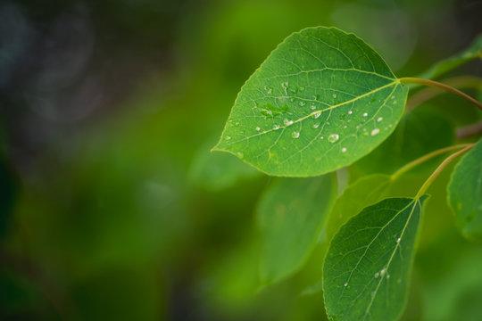 Dew on Aspen Leaves