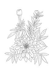 Drawing tagetes flower, calendula, marigold