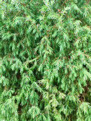 Natural green background from the needles of fragrant shrub of the Siberian evergreen juniper. Close up, macro