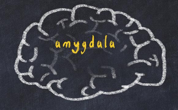 Drawind of human brain on chalkboard with inscription amygdala