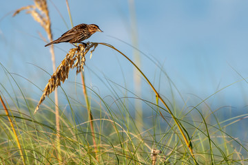 Red- winged blackbird (female) sits on the sea grasses Fotoväggar