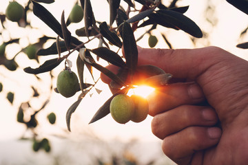 Olive branch in farmer's hand - close up. Agriculture or gardening - country outdoor scenery, gold sunset light. Fototapete