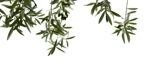 Photo sur Toile Oliviers Olivenzweige mit Oliven, isoliert und freigestellt vor hellen Hintergrund
