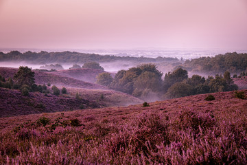 Wall Murals Crimson Posbank netherlands, misty foggy sunrise over the national park Veluwezoom Posbank Netherlands, heather flowers in blooming, purple hills