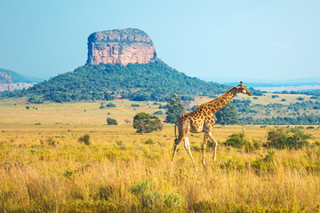 Fototapeten Honig Giraffe (Giraffa Camelopardalis) walking through the African Savannah with a butte geological formation in the background inside the Entabeni Safari Reserve, Limpopo Province, South Africa.