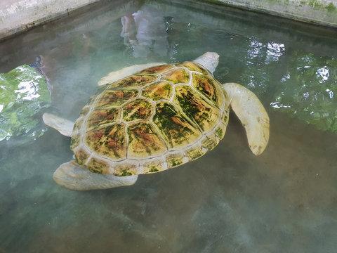 White albino turtle swims in the pool. Sea Turtle Rescue Center. Turtle farm in Sri Lanka