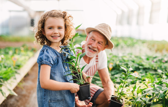 A small girl with senior grandfather in the greenhouse, working.