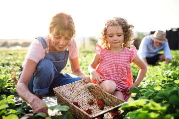 Fototapeta Small girl with grandmother picking strawberries on the farm. obraz
