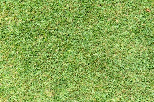 Grass background. St. Augustine grass