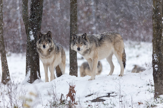 Arctic wolves standing on snowy landscape