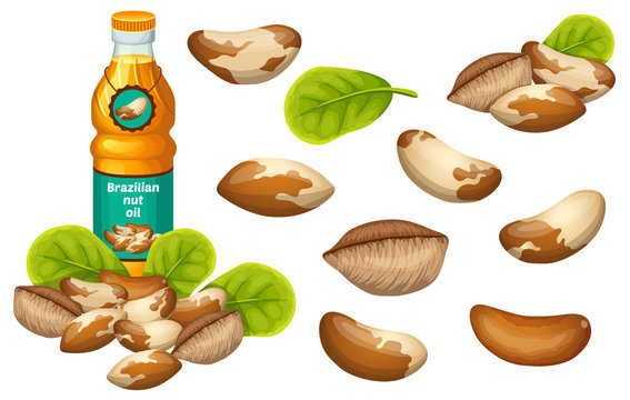 Set brazilian nut oil, seed and leaf. Isolated vector illustration on white background.