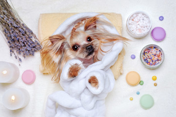 Pretty Yorkshire Terrier dressed in bathrobe laying at the SPA procedures