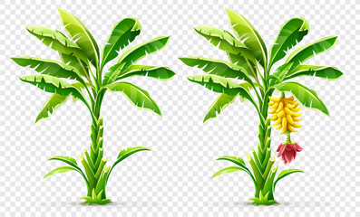 Set of Banana palm tree with fruits. Exotic tropical plants with green leaves and flower, Isolated on transparent grid background. Eps10 vector illustration.