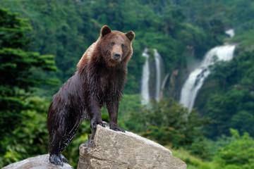 Wall Mural - Big brown bear standing on stone