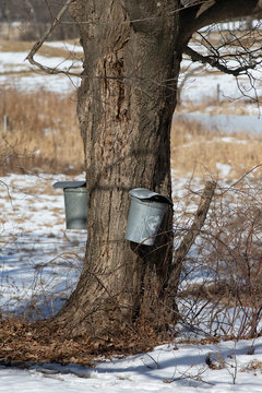 Old Maple Sap Collection bucket on a Maple Tree