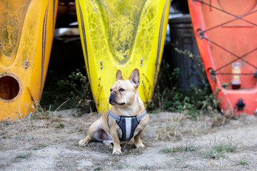 Curious French Bulldog Male Exploring the Outdoors. Pillar Point Harbor Kayaking, Half Moon Bay, California, USA.