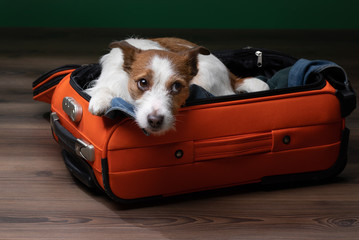 Traveling with a dog. Funny jack russell terrier in a suitcase. Pet adventure