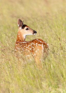 Whitetail Deer Fawn in Meadow