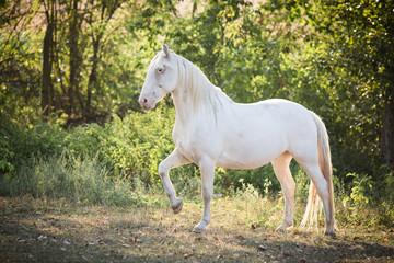 kräftiges weißes Pferd im Grünen, Seitenansicht