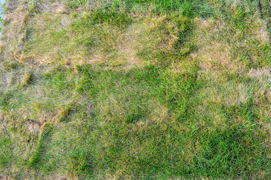 Texture of dying lawn with healthy green grass and dead dry grass