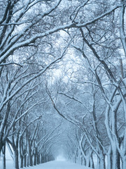 Snowy Tree-Lined Lane