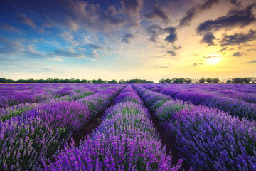 Tuinposter Lavendel Lavender flower blooming fields in endless rows
