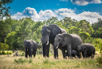 Deurstickers Olifant Elephants family in Kruger National Park, South Africa.