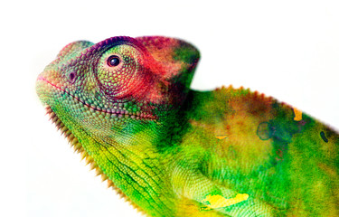 Fototapete - chameleon - and water colors