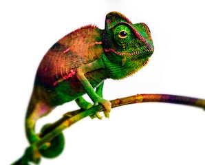 Fototapete - green chameleon - and water colors