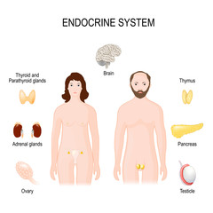 endocrine system. Female, male silhouettes, and endocrine glands