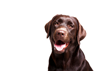 Portrait of eighteen months old chocolate labrador retriever isolated on white background. Happy and funny brown dog, studio shot. Close up, copy space.