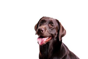 Portrait of eighteen months old chocolate labrador retriever isolated on white background. Happy and funny brown dog, studio shot. Close up, copy space. Wall mural
