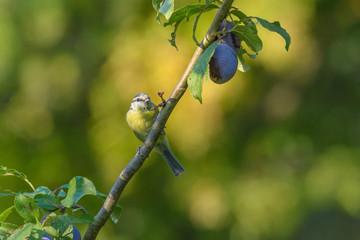 Eine Blaumeise sitzt in einem Pflaumenbaum