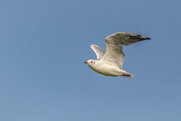 Eine fliegende Möwe