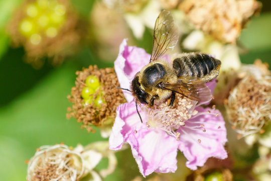 Leafcutter Bees (Megachilidae) in the UK