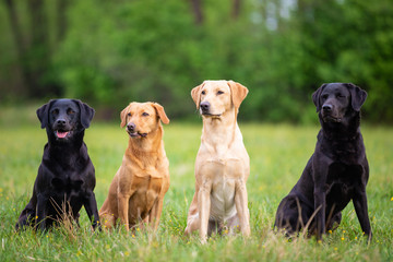 Four Labrador Retriever dogs in different colors