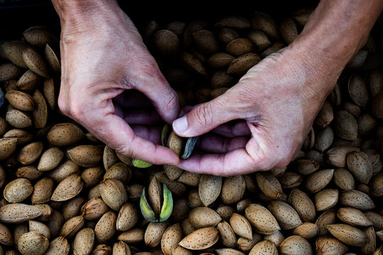 harvesting almonds in an orchard in Spain