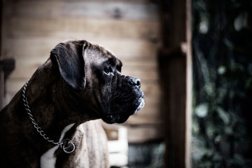 portrait of a boxer dog outdoors