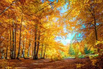 Warm Sunny day in Autumnal forest, yellow orange trees