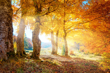 Garden Poster Orange Warm autumn landscape - beautiful forest with the sun rays and golden trees