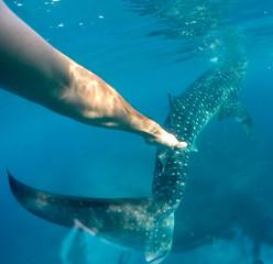 Whale shark watching off the scenic coast of Oslob, Cebu, Philippines