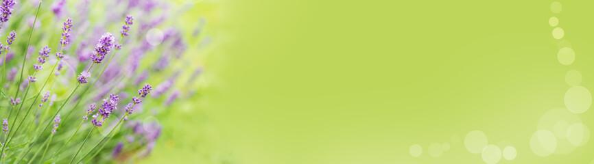 Lavendel-Panorama mit Copyspace