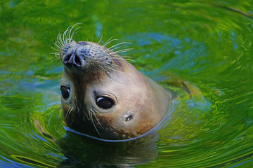 Close-up head of a seal with whiskers in green and blue water