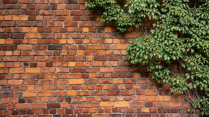 Climbing plant, green ivy or vine plant growing on antique brick wall of abandoned house. Retro style background